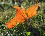 Leaf in the Grass