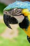 Parrot in Peru