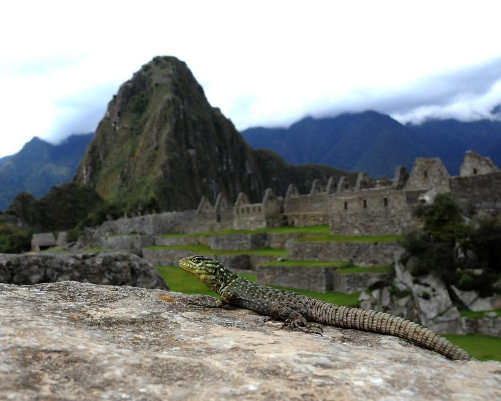 Lizard in Peru