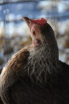 Chicken photographs