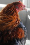 Chicken photographs